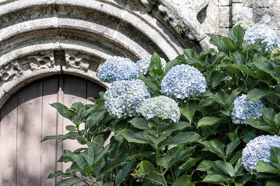 Von Hortensien, Granitmauern und einer stibitzten Hortensienblüte…