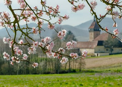 Pfälzer-Mandelblüte-10