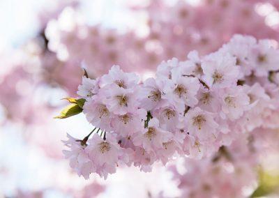 Pfälzer Mandelblüte 11