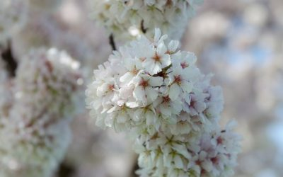 Pfälzer Mandelblüte, …die Pfalz durch die rosarote Brille gesehen