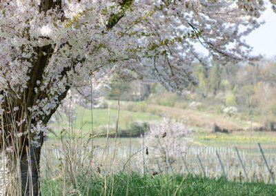 Pfälzer-Mandelblüte 2