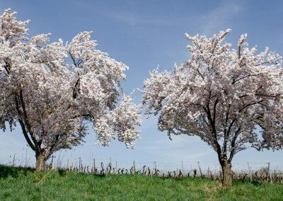 Pfälzer-Mandelblüte-5